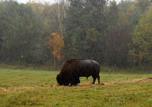 canada fauna quebec ottawa mammals parcomega muskox faune mamiferos mammifères moschatus ovibos boeufsmusqués toroalmizclero