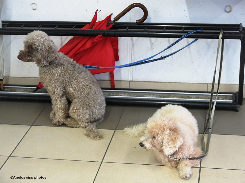 Poodles waiting at the supermarket