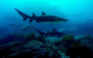 Grey Nurse Sharks