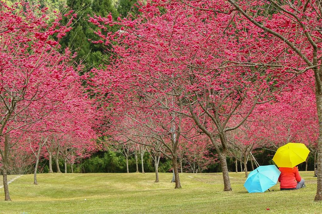九族櫻花祭 (14)