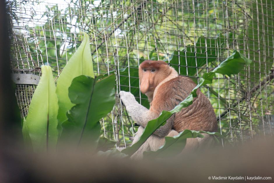 Обезьяна Носач в зоопарке Сингапура