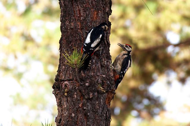 Woodpeckers Las Lajas