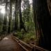 Muir Woods National Monument by matt.hintsa