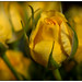 Rosebud by Ted Bowman Photography