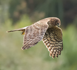 Lady Harrier ( Hovering )