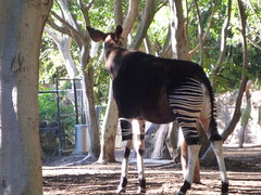 pack animal(0.0), animal(1.0), zoo(1.0), okapi(1.0), fauna(1.0), giraffidae(1.0), wildlife(1.0),