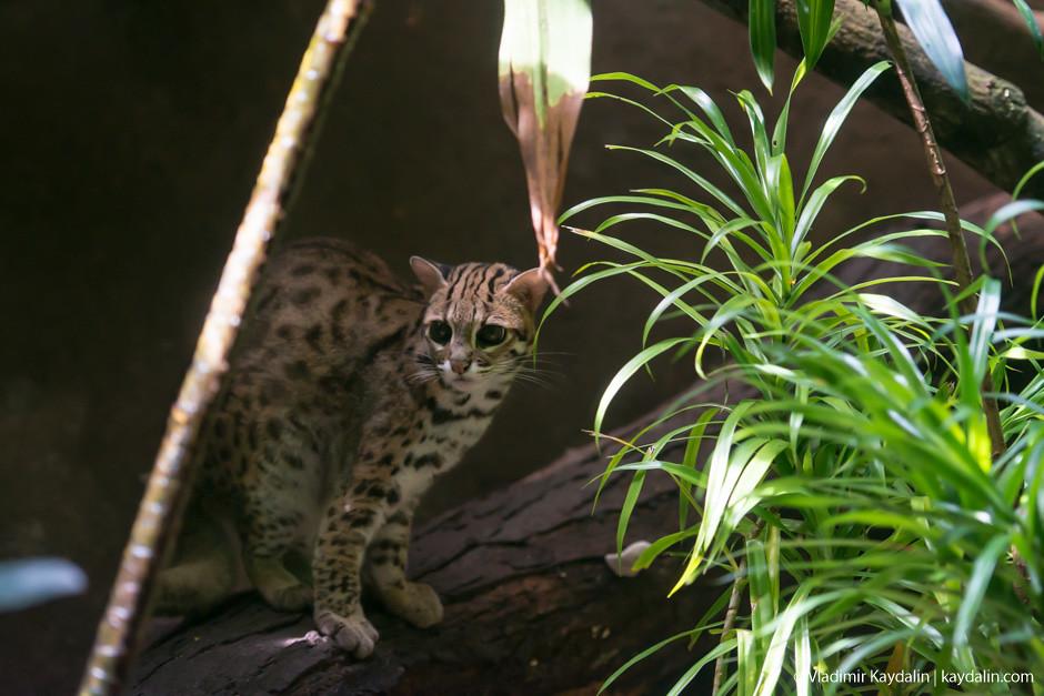 кошка в зоопарке Сингапура