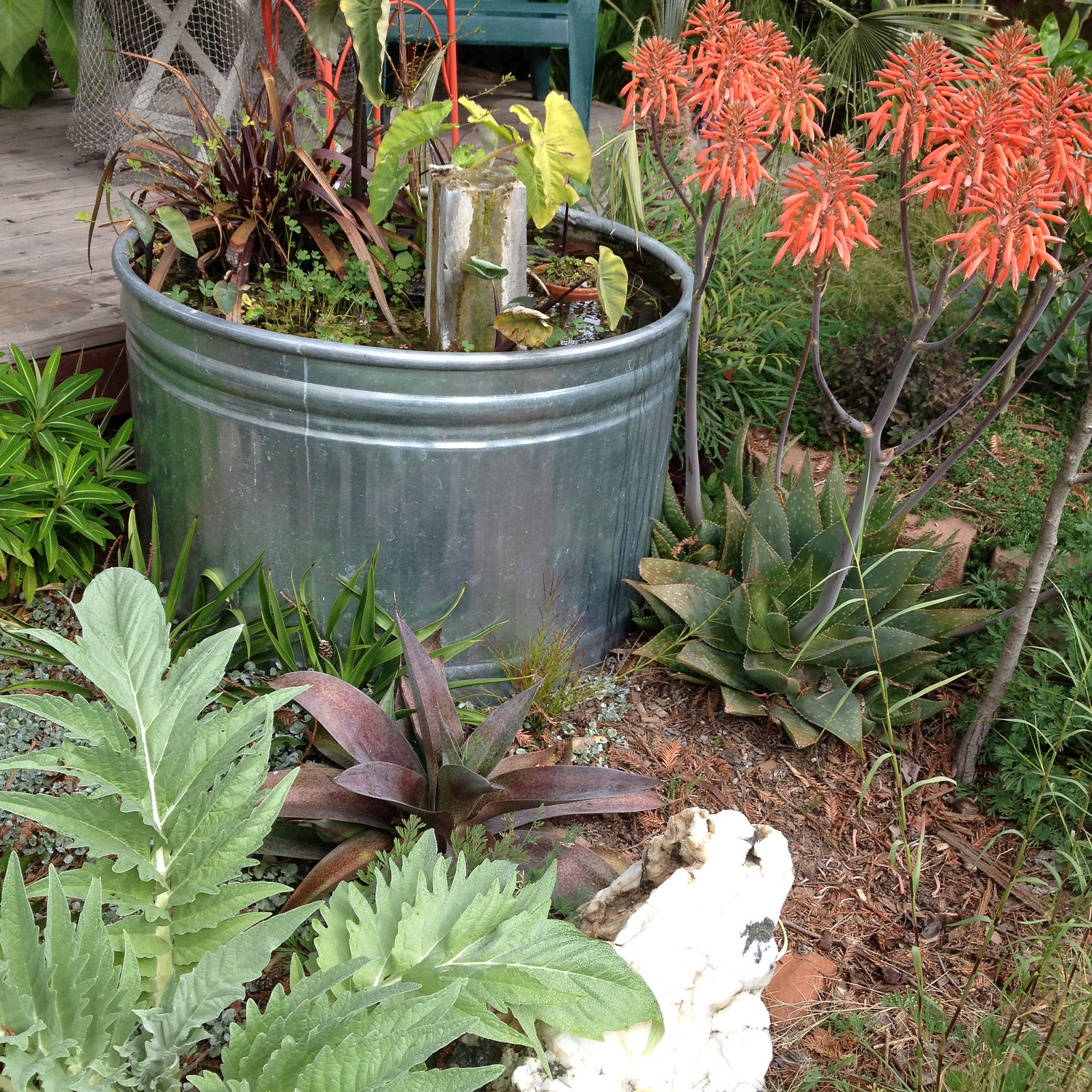 Aloe, Cardoon, Mangave, a match made in heaven