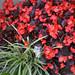 My begonias