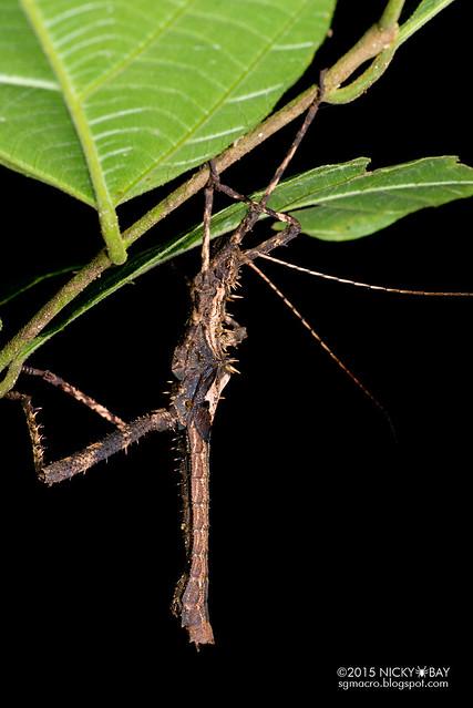 Stick insect (Phasmatodea) - DSC_3537
