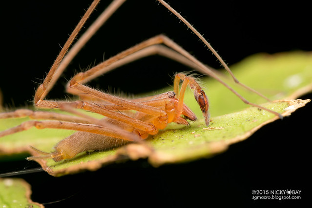 Long-legged sac spider (Miturgidae) - DSC_3559