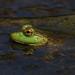 Bullfrog by ashockenberry