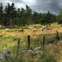 #vaches #lozère #grandrieu #randonnée #promenade