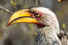 Southern yellow-billed hornbill in Krüger National Park