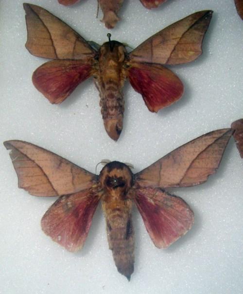 Adeloneivaia catoxantha 15346628744_3f784ebbd0_o