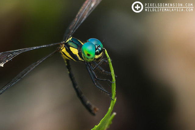 An Elf dragonfly- Tetrathemis irregularis ♂