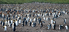 King Penguin Metropolis