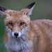 Red Fox  (Vulpes vulpes)  Vörös róka