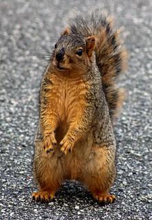 Squirrel Playing Hamlet