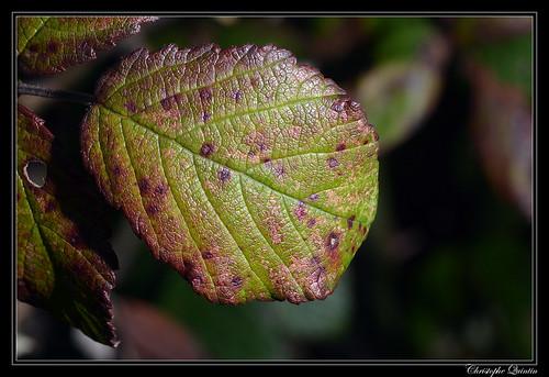 Phragmidium violaceum sur Rubus fruticosus