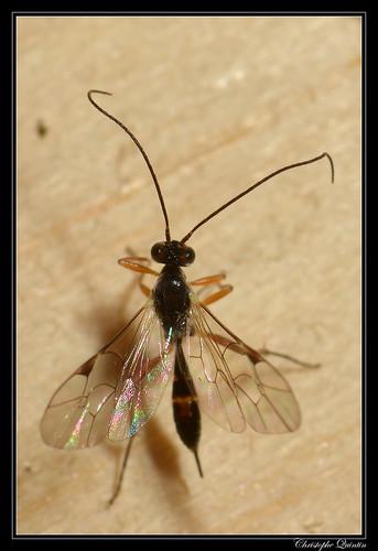 Mesochorinae (Mesochorus sp. ?)