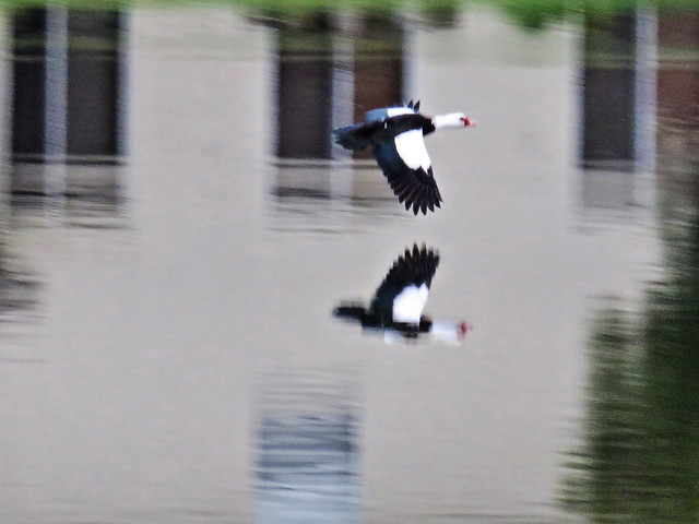 Muscovy in flight pan crop one quarter 20141203