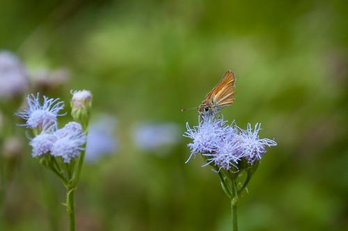 texas unitedstates insects lepidoptera northamerica hidalgocounty butterfliesofnorthamerica skippersfamilyhesperiidae grassskipperssubfamilyhesperiinae southernskipperlingcopaeodesminimus bentsenpalmsvillage
