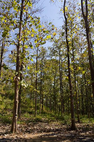 trees paya teak shwedaung myanmarburma republicoftheunionofmyanmar bagoregion