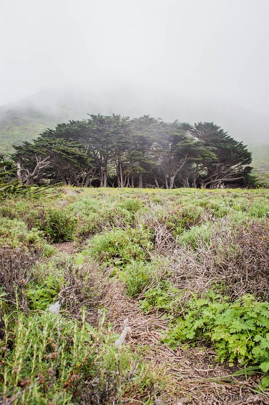 California Trees on Foggy Day
