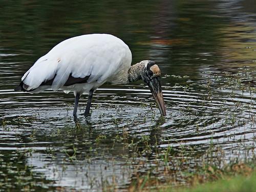 Wood Stork feeding 2-20150202