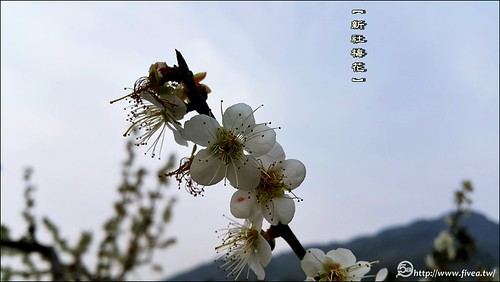 新社梅花森林