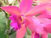 Pink Piggy Orchid @CairnsShow