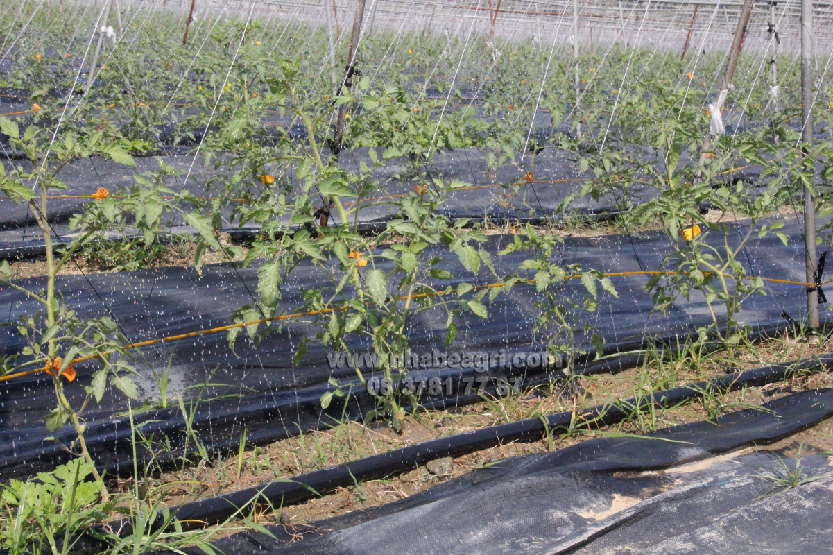 Tưới vườn cà chua bằng ống tưới san fu