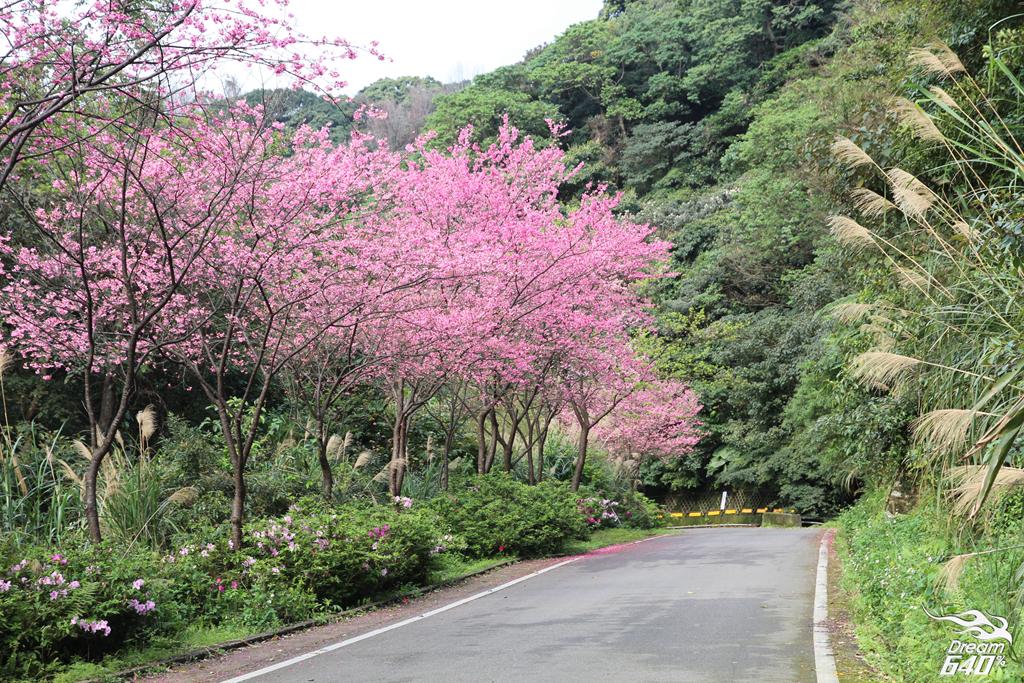 2015三芝青山路賞櫻17