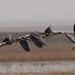 Greater white-fronted goose (Anser albifrons) Nagy lilik