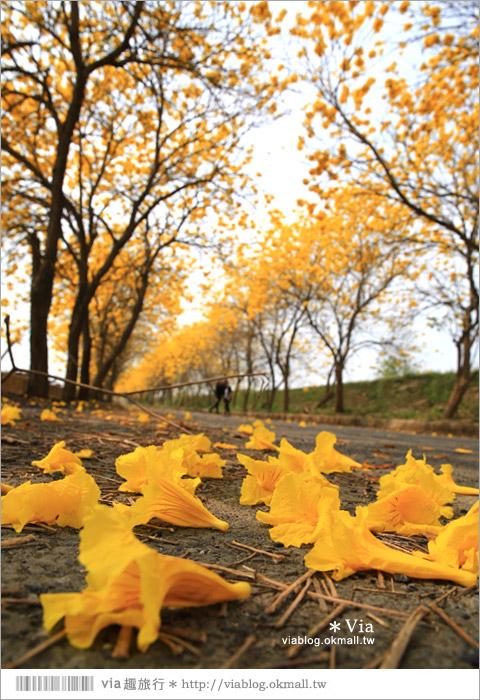 【嘉義黃金風鈴木】嘉義朴子溪防汛道黃金風鈴木~Via推薦!全台最美的金色大道23