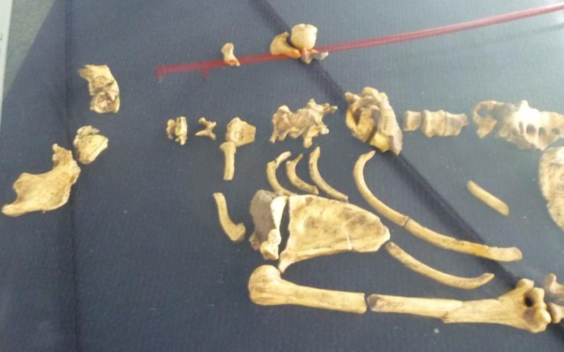 Australopithecus sediba 16602487591_16fb249b05_o