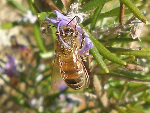 Honeybee on rosemary