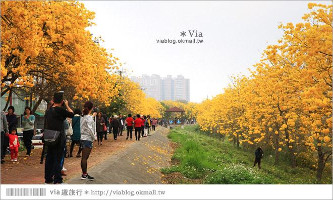 【嘉義景點】嘉義軍輝橋黃金風鈴木~全台最美的堤防!開滿滿的風鈴木美炸了!19
