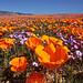 Poppies n Gilia