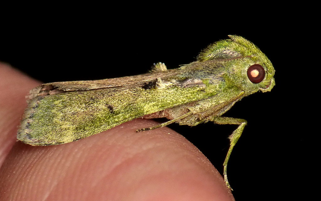 Moth, Pyralidae, Epipaschiinae