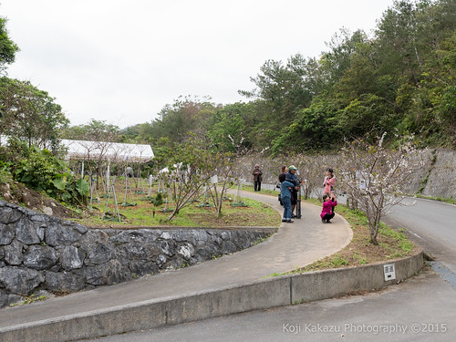 クメノサクラ 2015   Okinawa, Japan 32