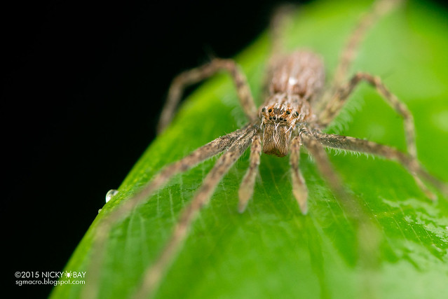 Fishing spider (Hygropoda sp.) - DSC_2817