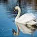 Swan at Staunton Harold