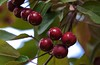 Ruby red Cherries nature's sweet superfood in Washington State