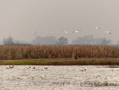 animal migration, wetland, animal, prairie, water bird, steppe, plain, fauna, natural environment, flock, bird migration, marsh, bird, wildlife,