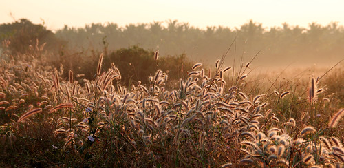 mist grass sunrise canon eos rebel kiss zoom kit backlit x4 fountaingrass 550d 18135mm pennisetumsetaceum t2i canonefs18135mmf3556is