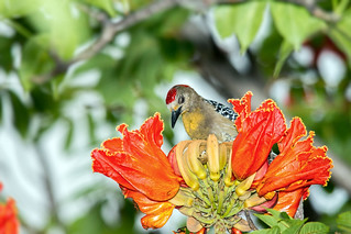 Red-crowned Woodpecker | Carpintero habado (Melanerpes rubricapillus rubricapillus)