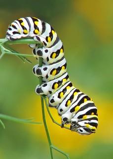 12 Days of Christmas Butterflies & Dragonflies - #3 Black swallowtail