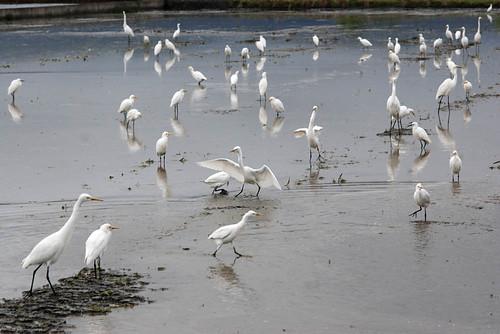 宜蘭野鳥多樣性眾多,目前未受疫情影響,縣府拉出濕地防線。(攝影:葉品妤)